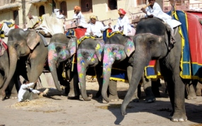 Elephants for hire at the Amber Fort