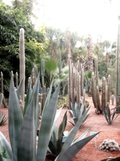 Cacti at Majorelle Gardens, Marrakesh, Morocco