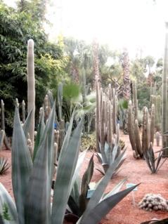 Cacti at Majorelle Gardens, Marrakesh, Morocco