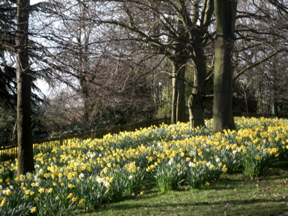 Daffodils at Holland Park, London