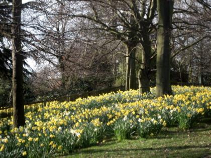 Daffodils at Holland Park, London