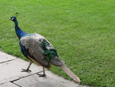peacock at Cardiff Castle, Wales